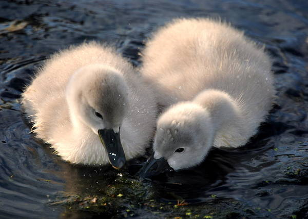Baby Animals Art Print featuring the photograph Baby Swans by Sara Whitney