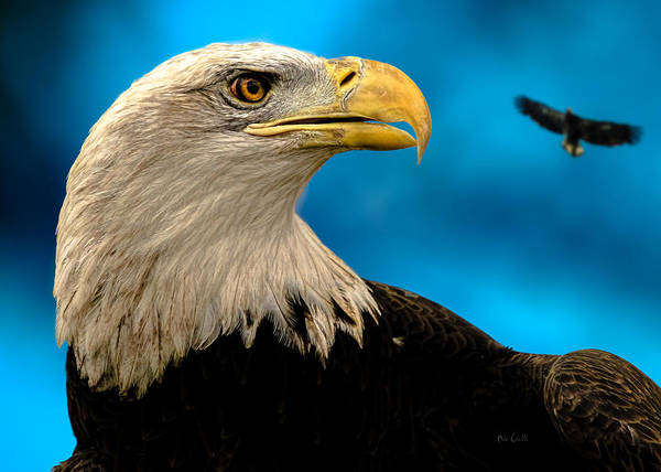 Eagle Art Print featuring the photograph Bald Eagle And Fledgling by Bob Orsillo