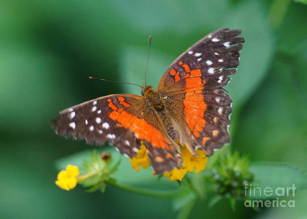 Nature Art Print featuring the photograph Red Anartia Butterfly 1 by Rudi Prott