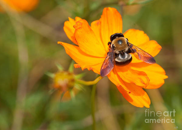 Insect Art Print featuring the photograph Bubble Bee by Sandra Clark