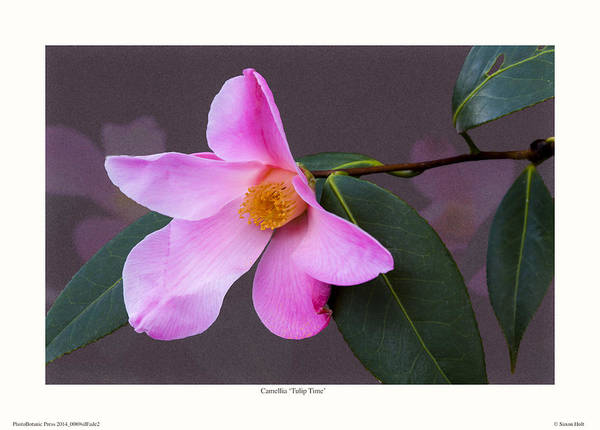 Camellia Print featuring the photograph Camellia 'tulip Time' by Saxon Holt
