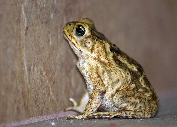 Frog Art Print featuring the photograph Frog-facing The Wall by Miguel Hernandez