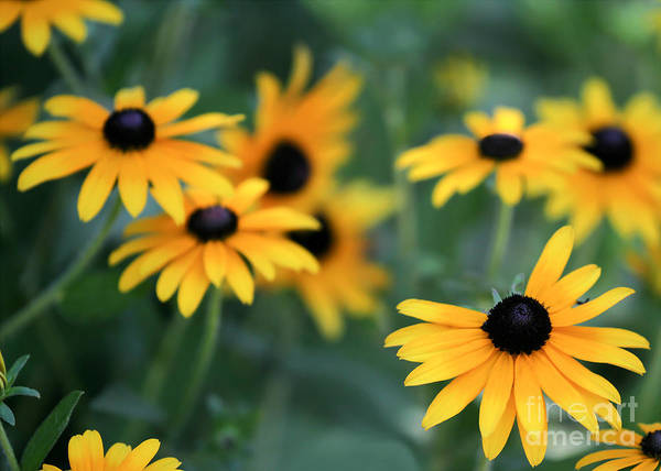 Fall Art Print featuring the photograph Glorious Garden Of Black Eyed Susans by Sabrina L Ryan