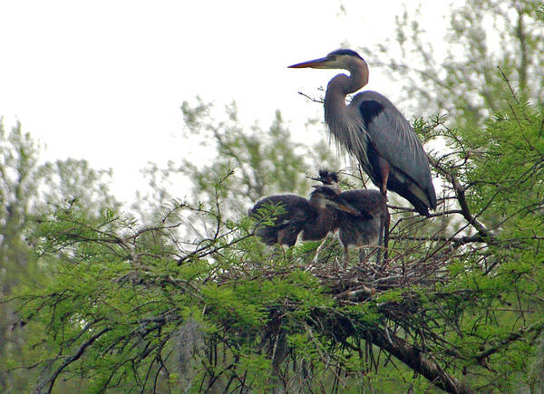Great Blue Heron Art Print featuring the photograph Great Blue Heron With Fledglings by Suzanne Gaff