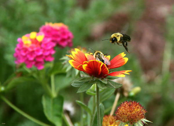 Bee In Flight Art Print featuring the photograph Incoming by Thomas Rehkamp