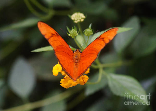 Nature Art Print featuring the photograph Julia Butterfly 1 by Rudi Prott