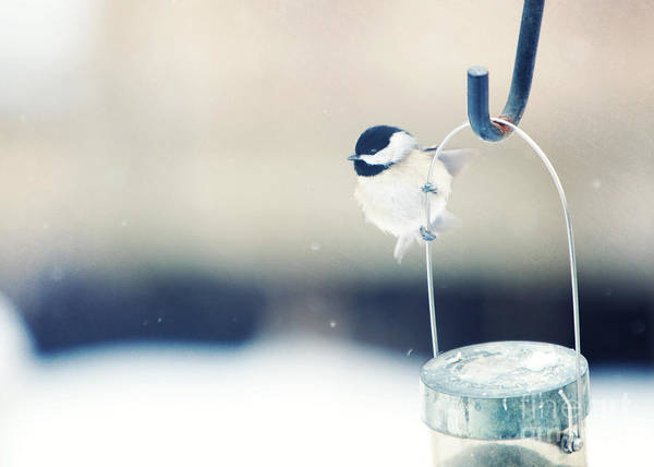 Black-capped Chickadee Art Print featuring the photograph Just Hold On by Kay Pickens