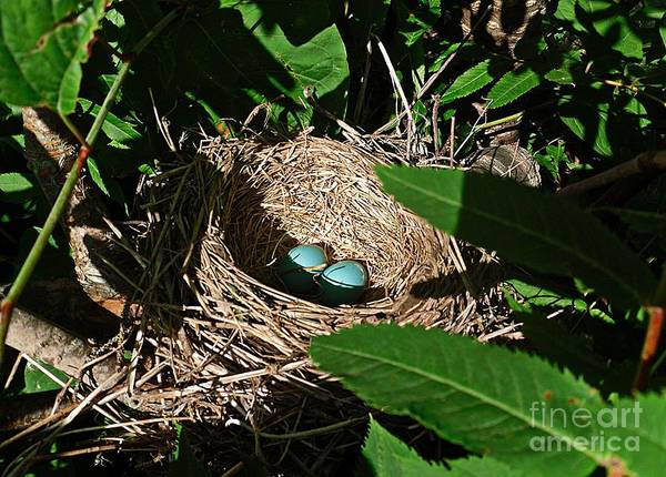 Robins Nest Art Print featuring the photograph New Life - Robin's Nest by Barbara Griffin
