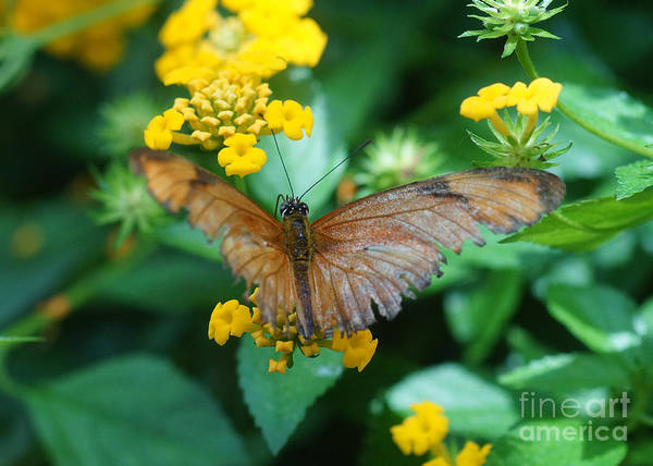Nature Art Print featuring the photograph Old Butterfly by Rudi Prott