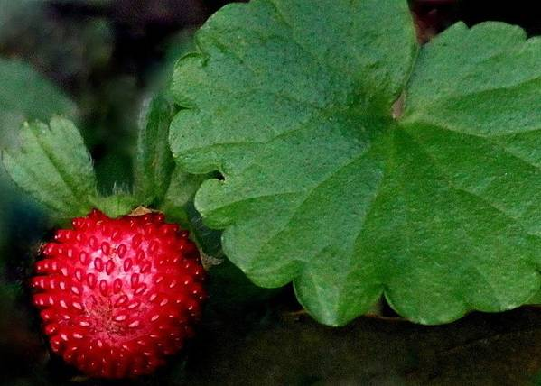 Berry Art Print featuring the photograph Red Red Berry by Rosanne Jordan