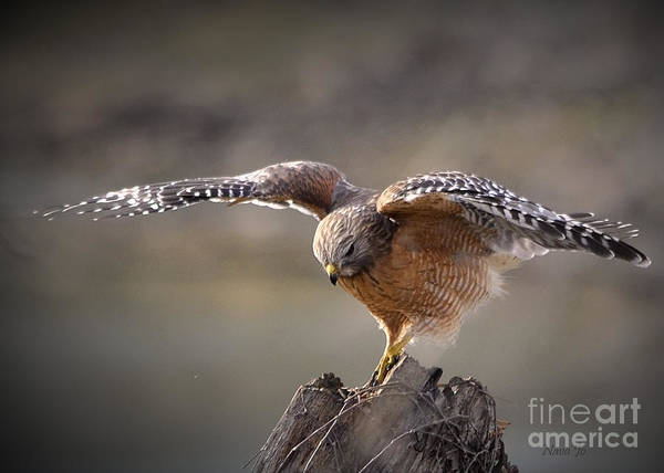 Nava Jo Thompson Art Print featuring the photograph Red Shouldered Hawk Dive by Nava Thompson