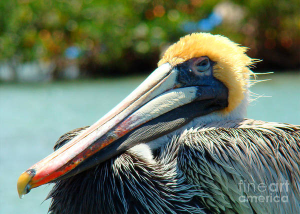 Pelican Art Print featuring the photograph Sleepy Pelican by Nancy L Marshall