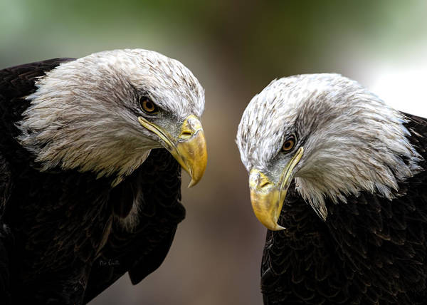Eagles Art Print featuring the photograph Soul Mates by Bob Orsillo