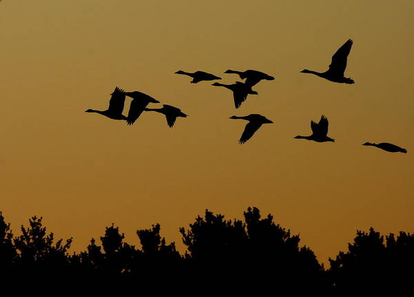 Geese Art Print featuring the photograph Southbound by Neal Eslinger