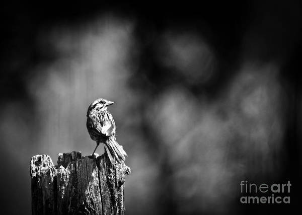Song Sparrow Art Print featuring the photograph Sparrow In Black And White by Cheryl Baxter