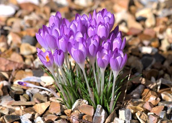 Spring Flowers Art Print featuring the photograph Springflowers by Gordon Auld