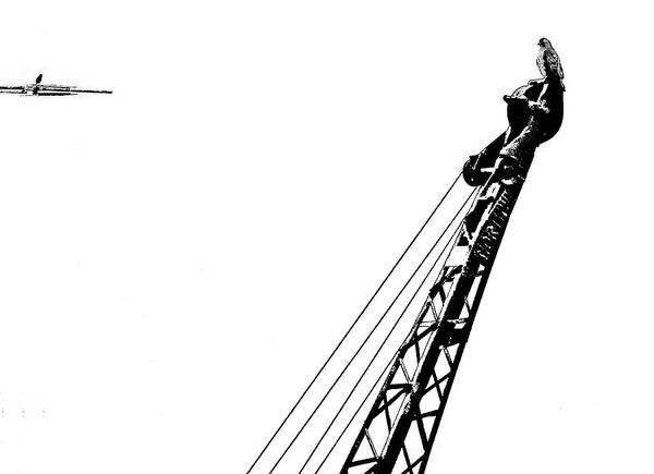 Hawk Art Print featuring the photograph Stare Contest II by Steve Harrington