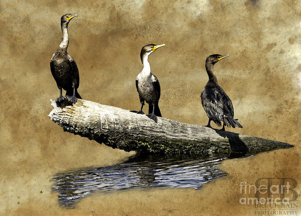 Birds Art Print featuring the photograph Three Musketeers by Bruce Bain
