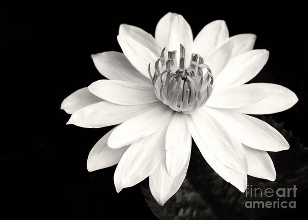 Landscape Art Print featuring the photograph Water Lily Ballerina by Sabrina L Ryan