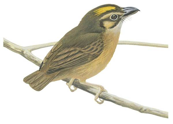 Branch; No People; Horizontal; Full Length; White Background; One Animal; Wildlife; White-throated Spadebill; Platyrinchus Mystaceus; Perching; Zoology Art Print featuring the drawing White Throated Spadebill by Anonymous