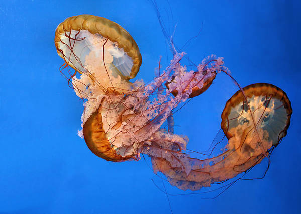 Jellyfish Art Print featuring the photograph A Trio Of Jellyfish by Kristin Elmquist