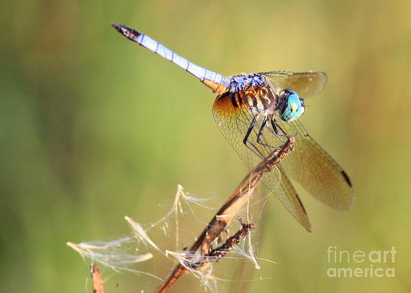 Dragonfly Art Print featuring the photograph Blue Dasher On Twig by Carol Groenen