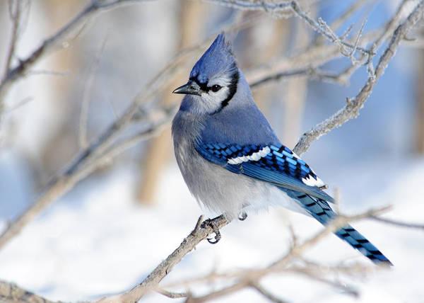Bird Art Print featuring the photograph Blue Jay by Ken Shuster