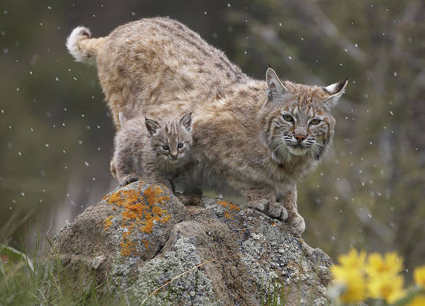 00177002 Art Print featuring the photograph Bobcat Mother And Kitten In Snowfall by Tim Fitzharris