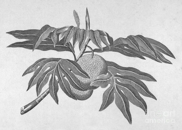 18th Century Art Print featuring the photograph Botany: Breadfruit Tree by Granger