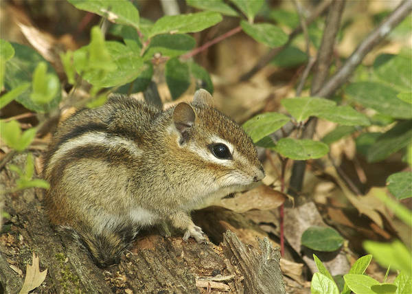 Chipmunk Art Print featuring the photograph Chipmunk by Michael Peychich