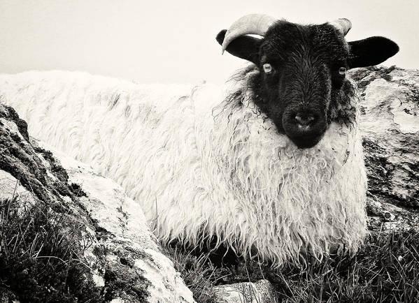Animals Art Print featuring the photograph Connemara Sheep by David Resnikoff