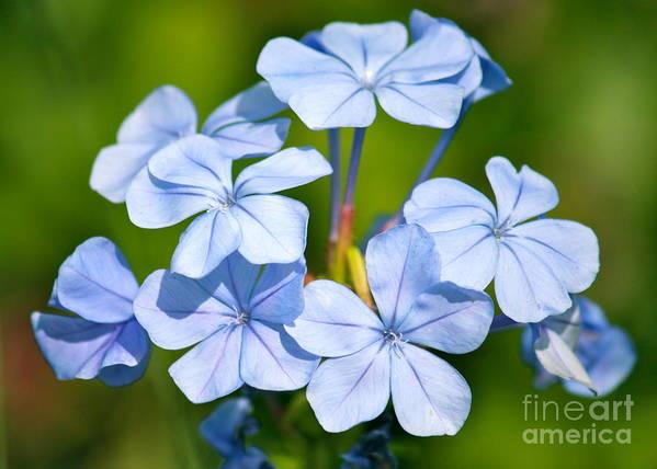 Blue Art Print featuring the photograph Light Blue Plumbago Flowers by Carol Groenen