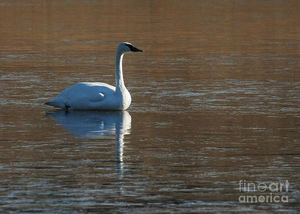 Swan Art Print featuring the photograph Meet Me by Joy Bradley
