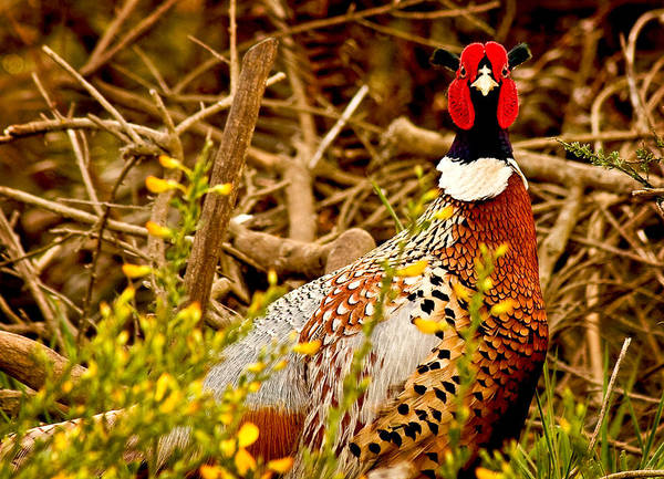 Animals Art Print featuring the photograph Pheasant by Jean Noren