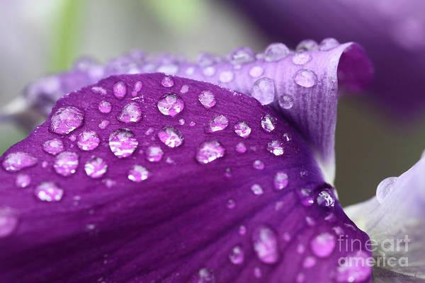 Raindrops Art Print featuring the photograph Purple Rain by Debra Straub