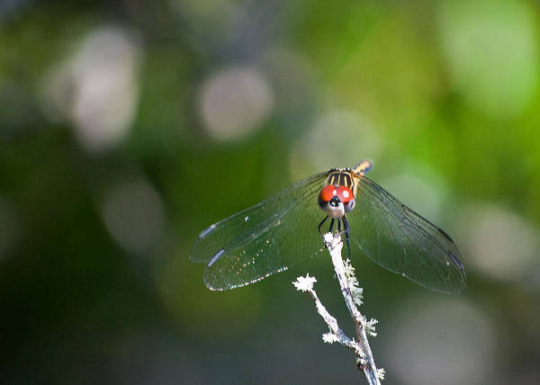 Dragonfly Art Print featuring the photograph Red Eyes by Rosie Herbert