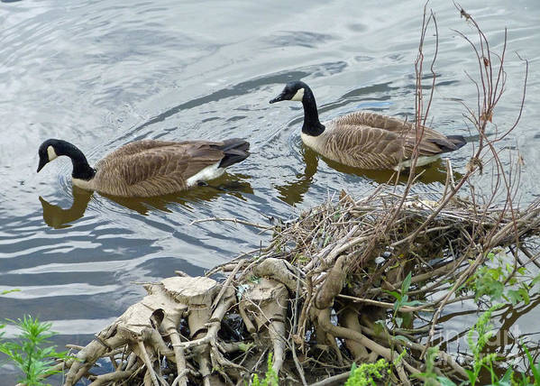 Canada Geese Art Print featuring the photograph River Cruising by Louise Peardon