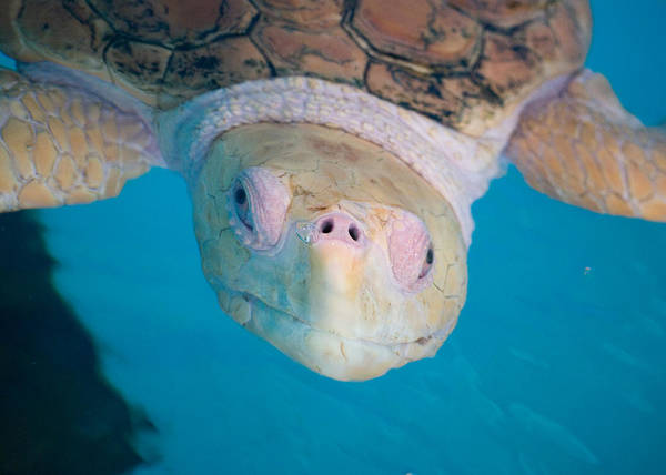 Sea Turtle Art Print featuring the photograph Sea Turtle by Rosie Herbert