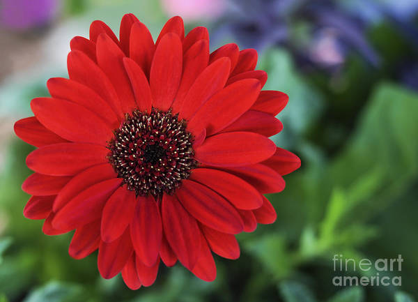 Flower Art Print featuring the photograph Simply Red by Jane Brack