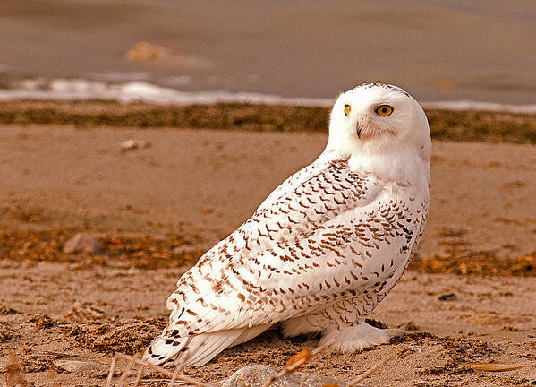 Snow Owl Art Print featuring the photograph Snow Owl by Earl Nelson