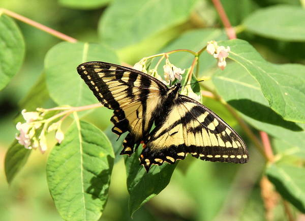 Swallowtail Art Print featuring the photograph Solitary Swallowtail by Don Downer