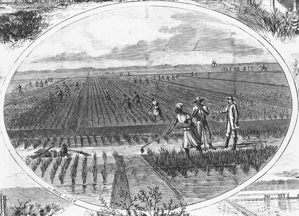 Historical Print featuring the photograph Southern Rice Field by Omikron