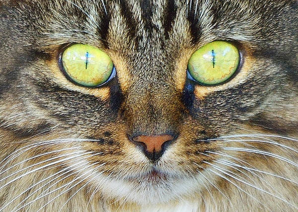 Cat Art Print featuring the photograph Sphene by Toshihide Takekoshi