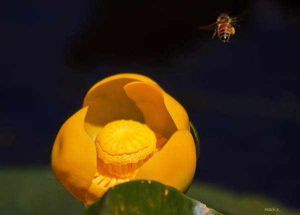 The Bee Art Print featuring the photograph The Bee by Mitch Shindelbower