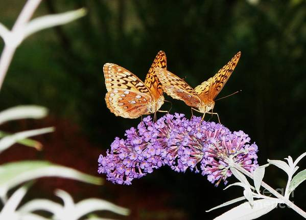 Butterfly Art Print featuring the photograph The Dancing Butterflies by Christy Bruna