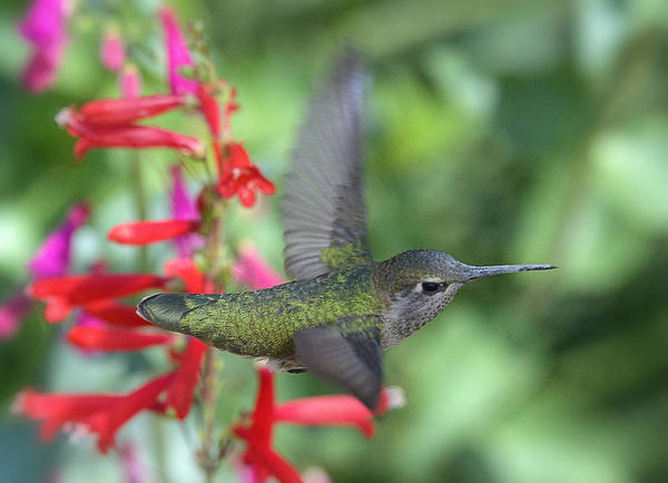 Annas Hummingbird Art Print featuring the photograph The Get Away by Saija Lehtonen