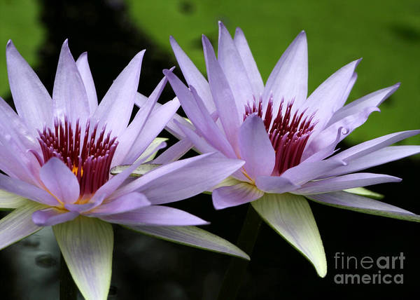 Macro Art Print featuring the photograph Water Lily Twins by Sabrina L Ryan