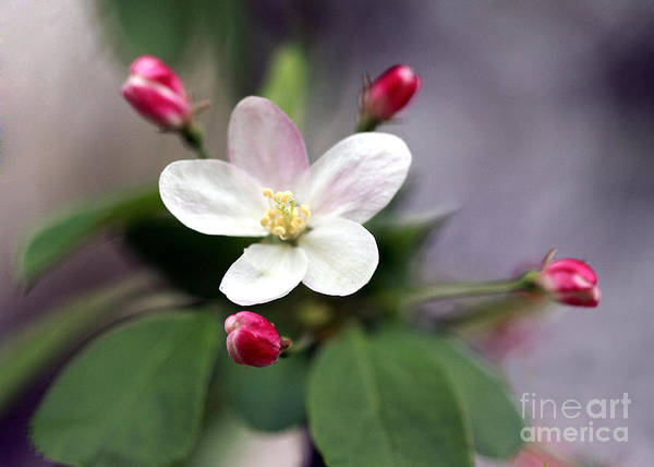 Art Art Print featuring the photograph Where Apple Blossoms Blow by Melissa Moore-Clingenpeel