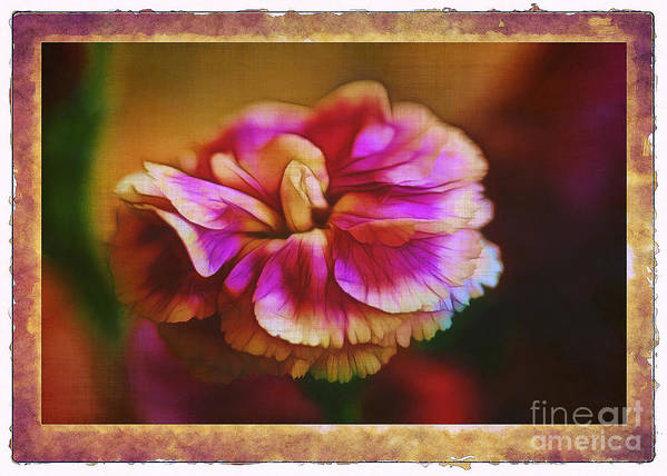 Carnation Art Print featuring the photograph Yesterday by Judi Bagwell