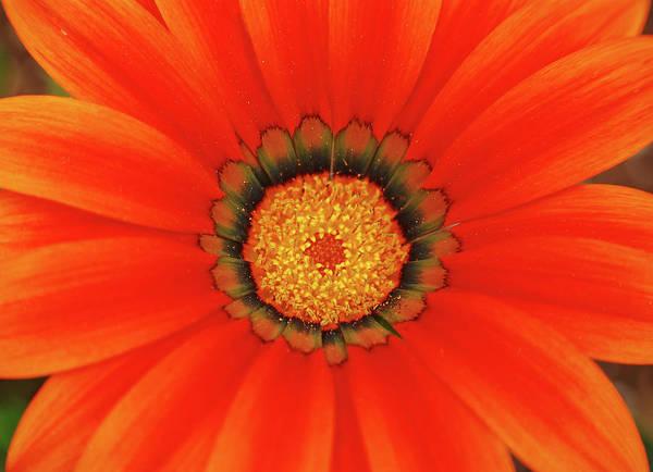 Daisy Art Print featuring the photograph The Beauty Of Orange by Lori Tambakis